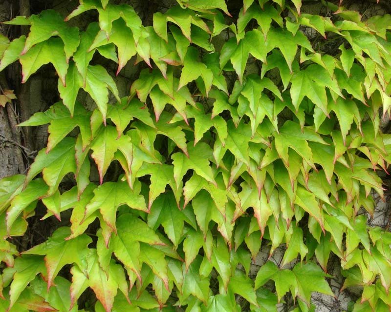 Gardensonline Parthenocissus Tricuspidata