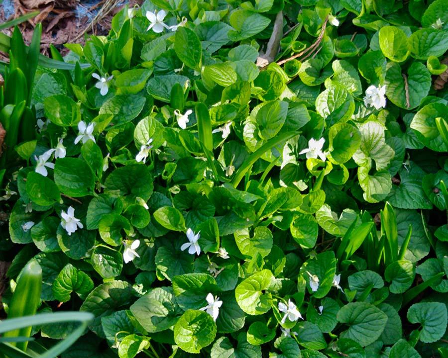 Viola odorata - variety with white flowers