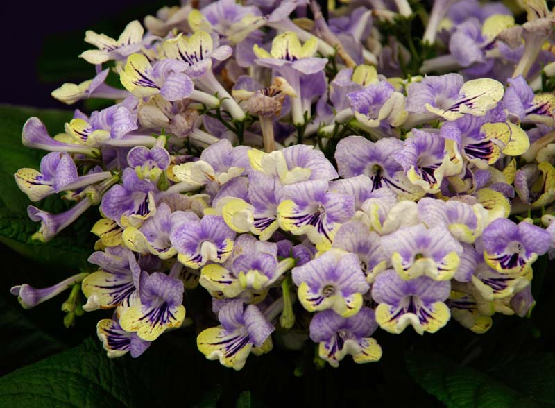 Streptocarpus Anwen has pale mauve and yellow flowers