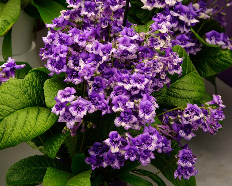 Streptocarpus Blue Frills have mauve and white flowers
