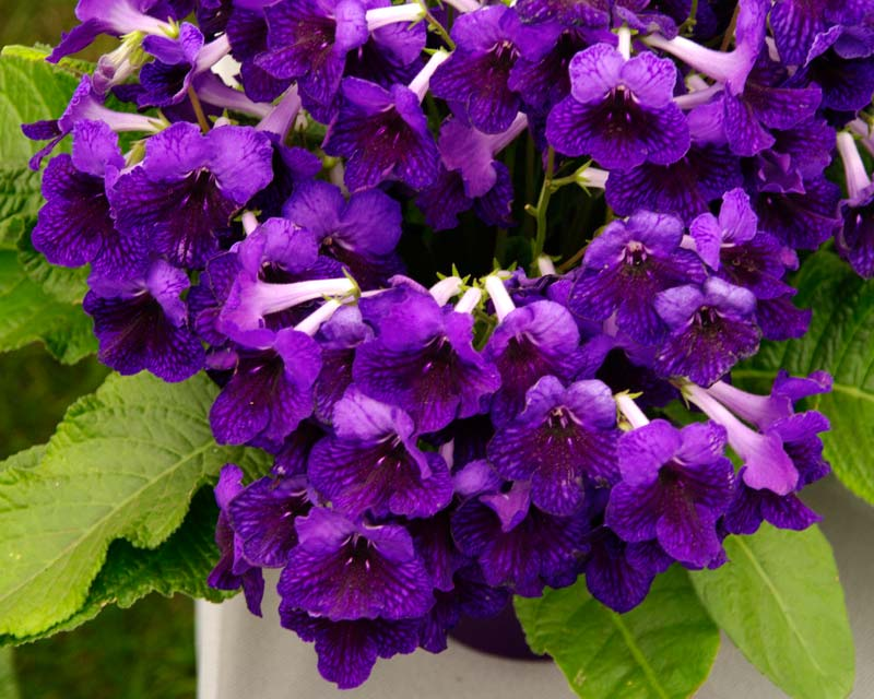 Streptocarpus Chelsea has purple and deep red flowers