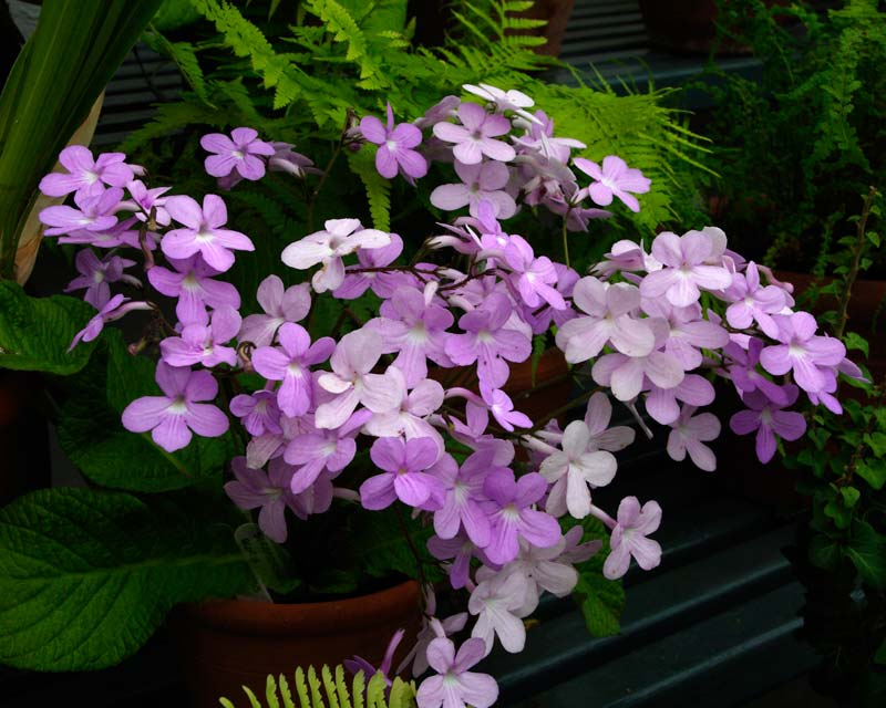 Streptocarpus Gloria - pretty flowers in various shades of pink and mauve