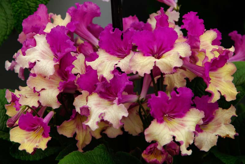 Streptocarpus Harlequin Dawn has pink and cream flowers