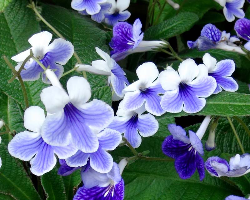 Streptocarpus Harlequin Lace has white and lavender flowers