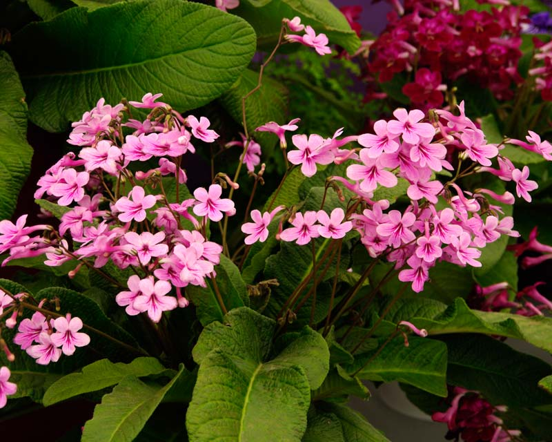 Streptocarpus Laura has delicate pink flowers with red markings on the lower petals