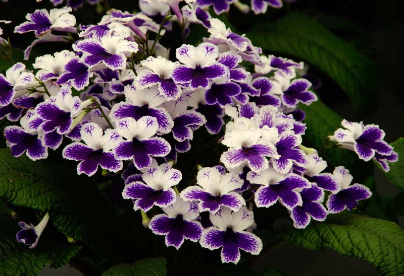 Streptocarpus Marion - has purple and white flowers