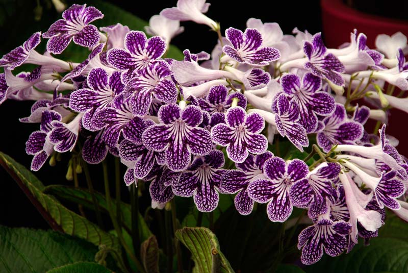 Streptocarpus Polka Dot Purple - has white and purple flowers