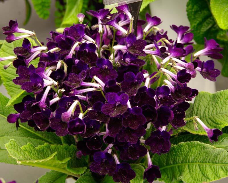 Steptocarpus Purple Velvet - has purple flowers