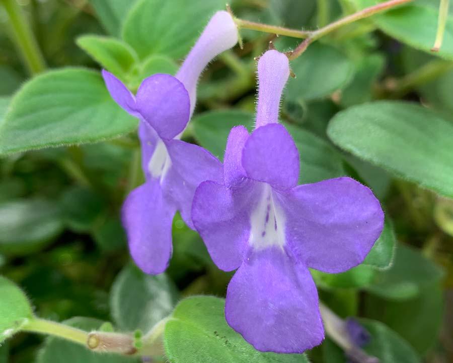 Streptocarpus saxorum 'Concord Blue'