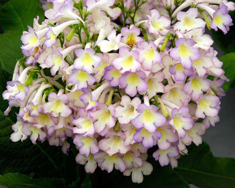 Streptocarpus x Sweet Melys has white petals with delicate pink edges and yellow throats