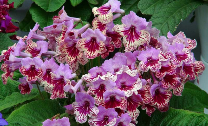 Streptocarpus Harlequin Rose has mauve red and white flowers