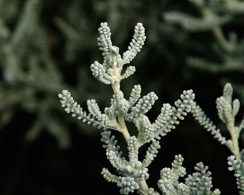 Santolina chamaecyparissus, Cotton Lavender