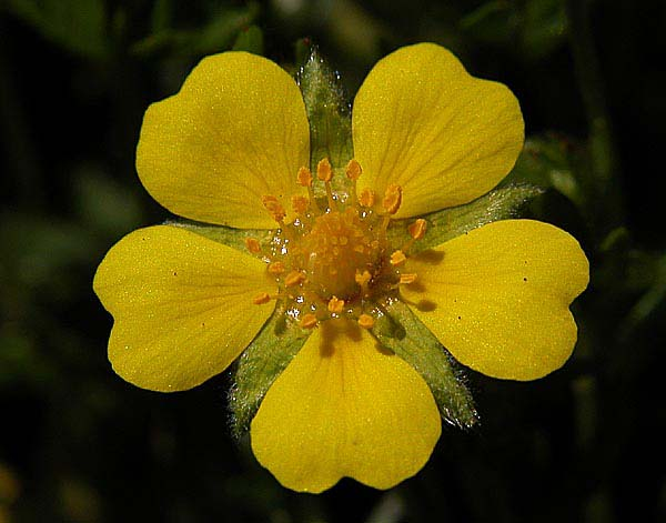 Potentilla neumanniana - flowers have 5 heart shaped yellow petals - photo Michael T Lemmer