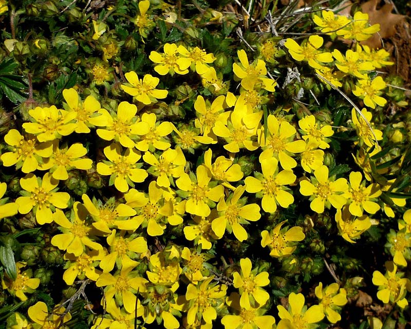 Potentilla neumanniana - yellow flowers form a carpet of colour- photo Isidre Blanc