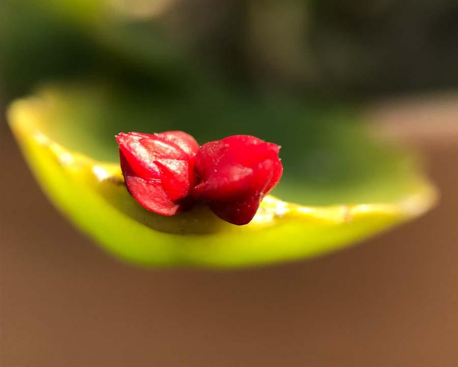 Schlumbergera gaertneri, Easter Cactus