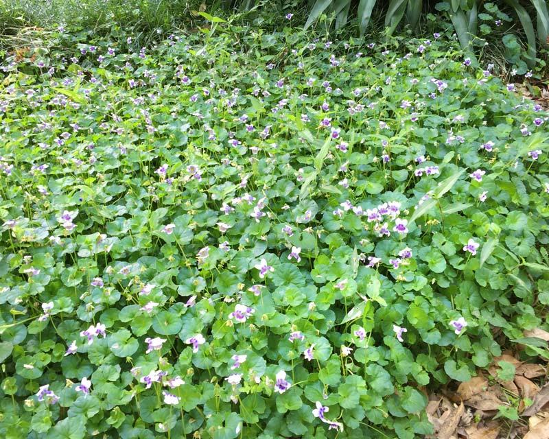 Viola banksii, Australian Native Violet makes good groundcover