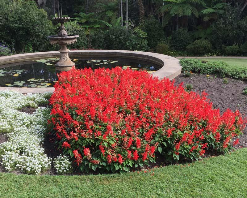 Salvia splendens - Bonfire Salvia as seen here at Vaucluse House, Sydney