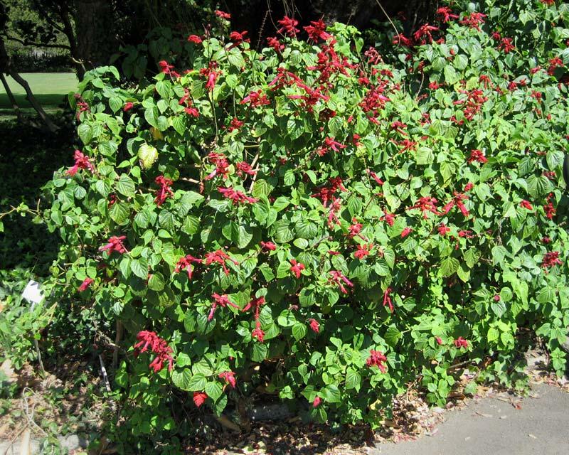 Salvia splendens var Van Houttei