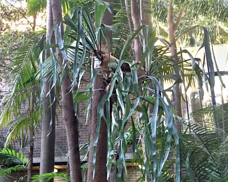Platycerium bifurcatum - Elkhorn - grow on trees in rainforest environment