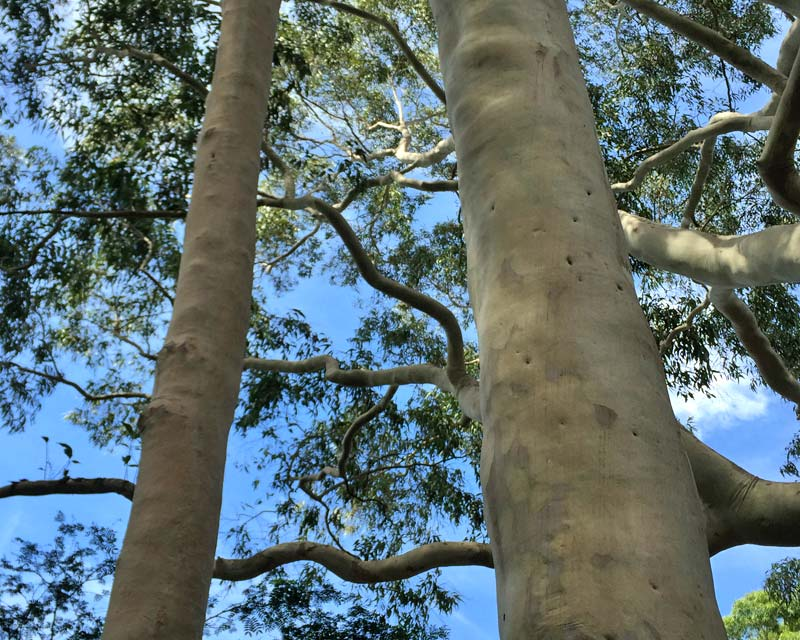Corymbia citriodora - smooth creamy bark with grey patches, trunk has lumpy appearance