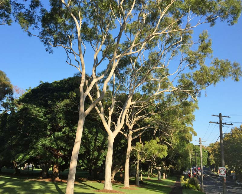 Corymbia citriodora - used as street trees in North Sydney