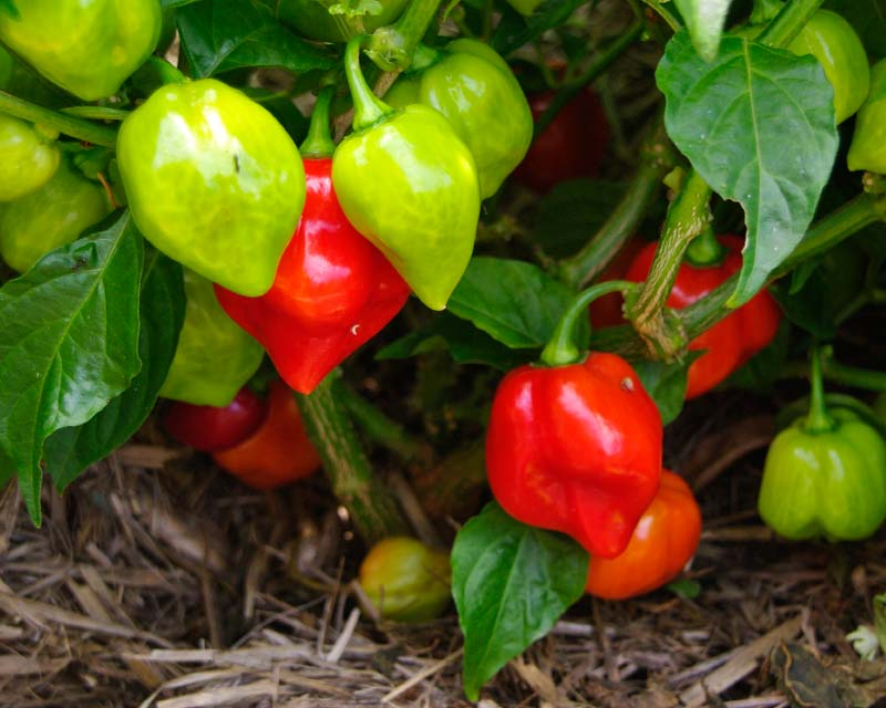Capsicum annum Habanero - many fruit are produced by a single plant the fruit turns from green to red as it ripens