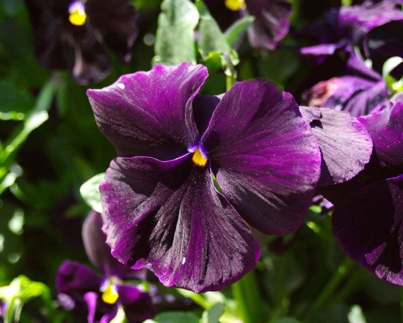 Viola wittrockiana - there are many different colour hybrids - these have deep purple petals.