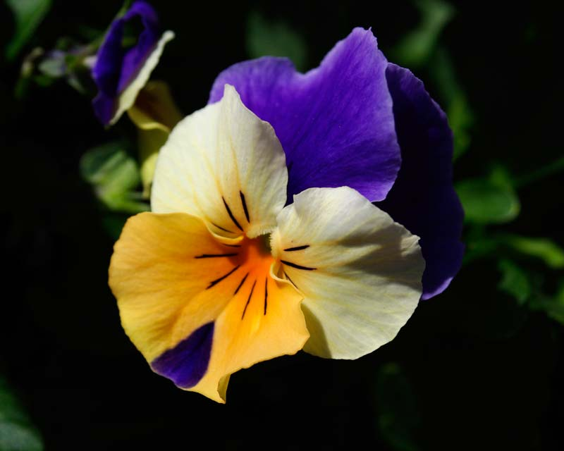 Viola wittrockiana - there are many different colour hybrids - these  tri-colour flowers have blue, white and orange petals.