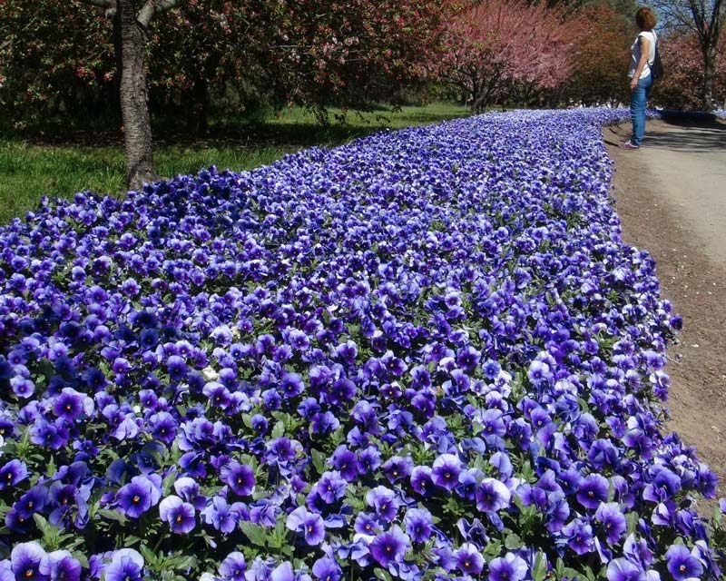 Pansies one of the best for adding blue to a garden. This is Top Tulip Garden near Canberra