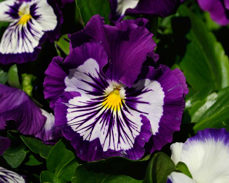 Viola wittrockiana - there are many different colour hybrids - these have blue petals with white markings.