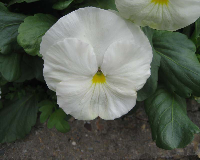 Pansies come in many colours including white