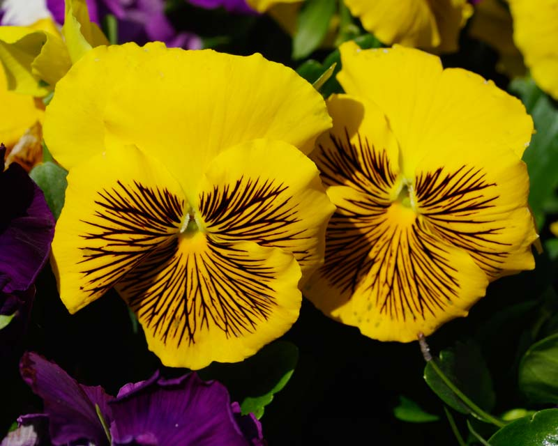 Viola wittrockiana - there are many different colour hybrids - these have yellow petals with black markings.