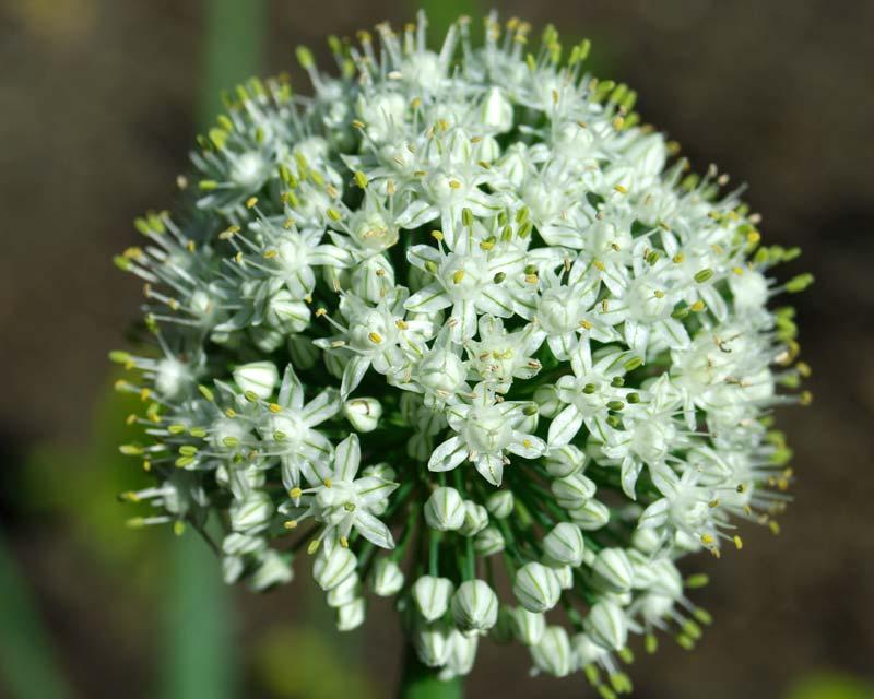 Gardensonline Allium Cepa