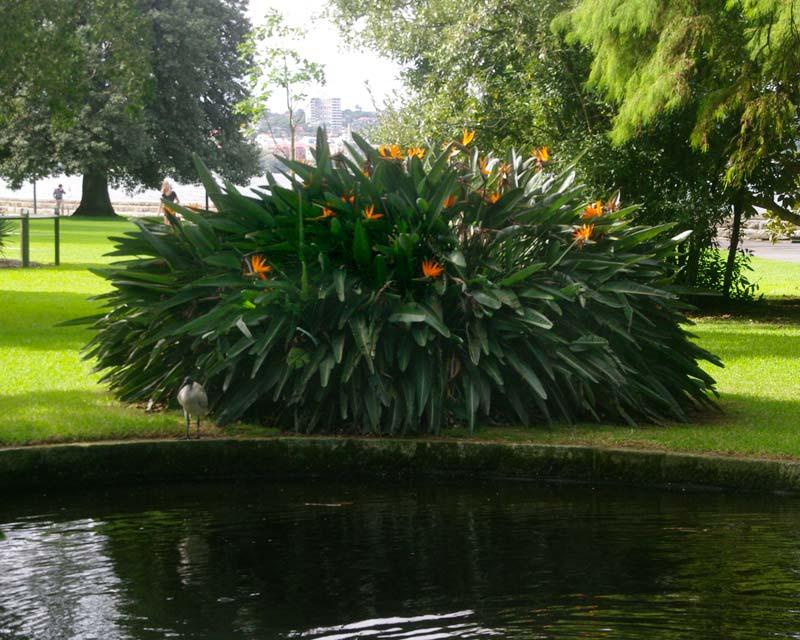 Strelitzia regina as seen in Sydney Royal Botanic Gardens