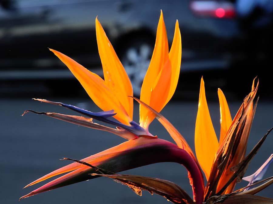Strelitzia regina, bird of paradise