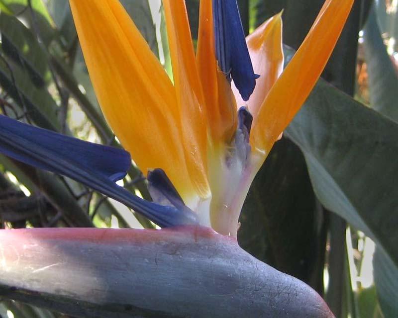 Strelitzia reginea - Bird of Paradise