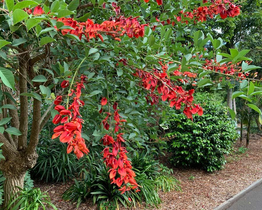 Erythrina Crista Galli - the Cocks-comb Coral Tree