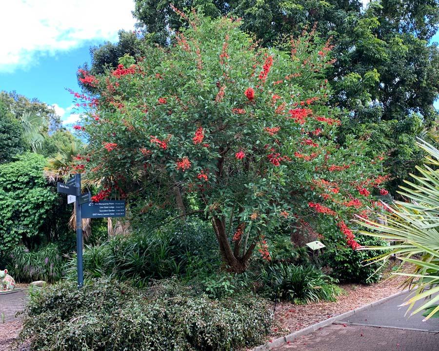 Erythrina christa galli