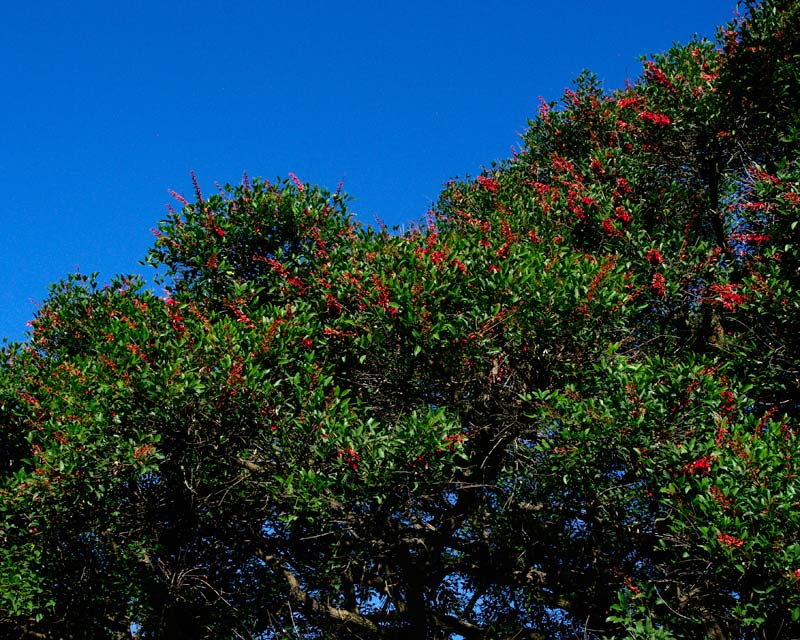 Erythrina crista-galli - racemes of red flowers