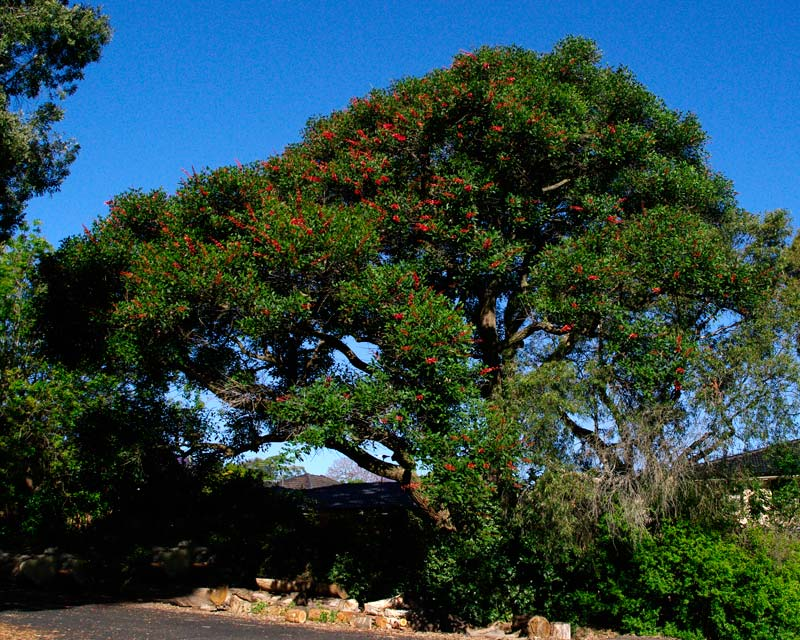 Erythrina crista-galli - a broad tree with red pea-shaped flowers in spring