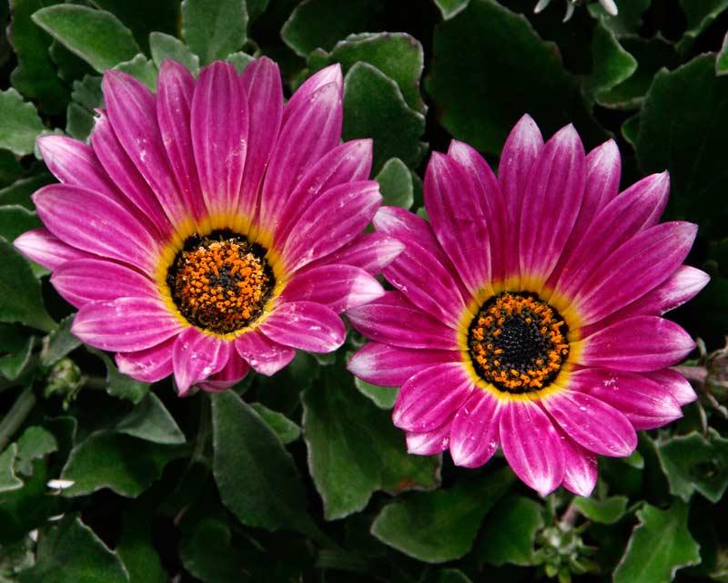 Arctotis 'Arcsunset' SAFARI SUNSET - Pink flowers with white tip to petals