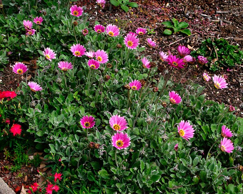Arctotis 'Arcsunset' SAFARI SUNSET -suitable as ground cover and for borders