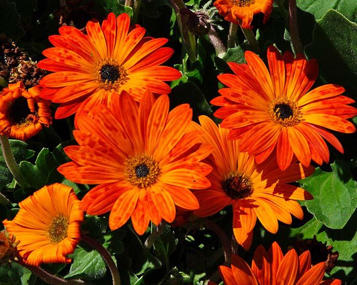Arctotis hybrid in brilliant glowing orange