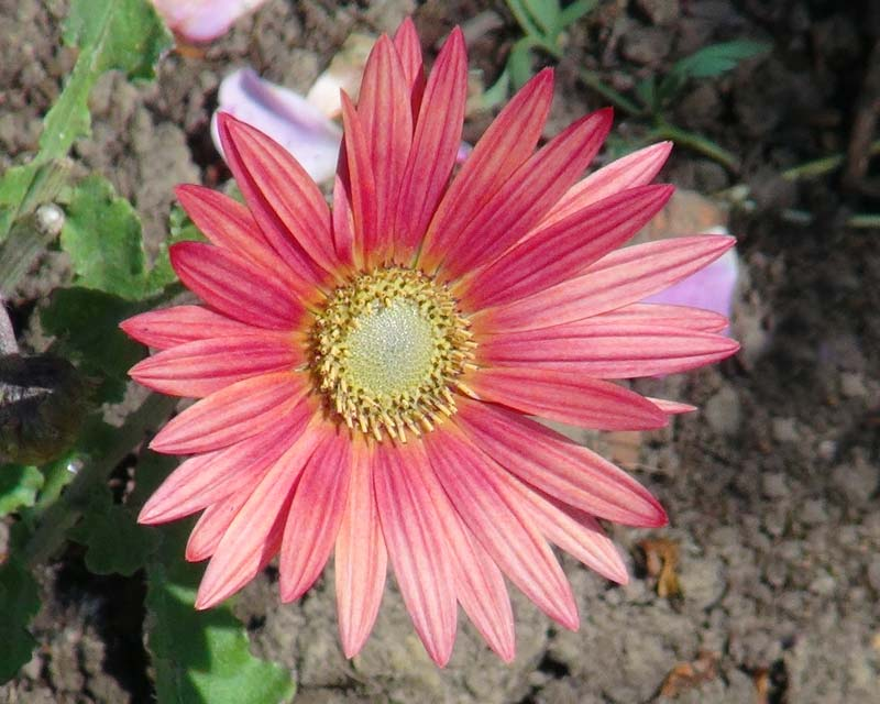 Arctotis hybrida - China Rose