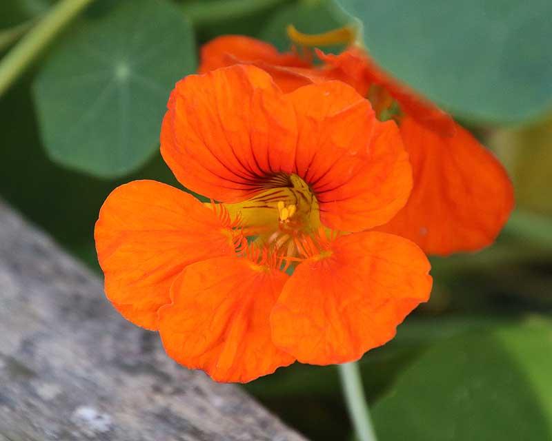 Tropaeolum majus, the common Nasturtium