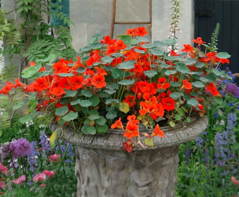 Tropaeolum majus - nasturtium orange flowers of various shades great as a pot plant