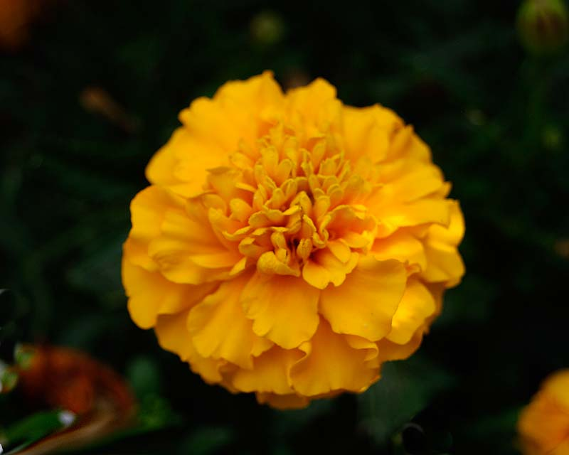 Tagetes erecta, the African Marigold