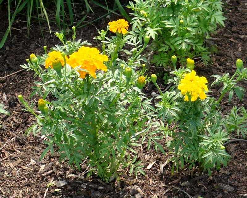 Tagetes erecta Crackerjack