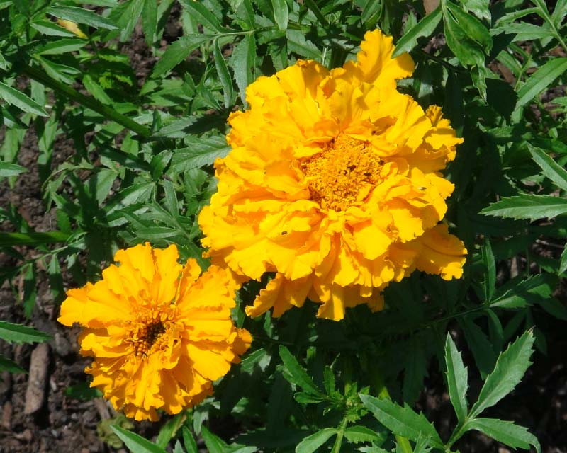 Tagetes erecta - this is Crackerjack
