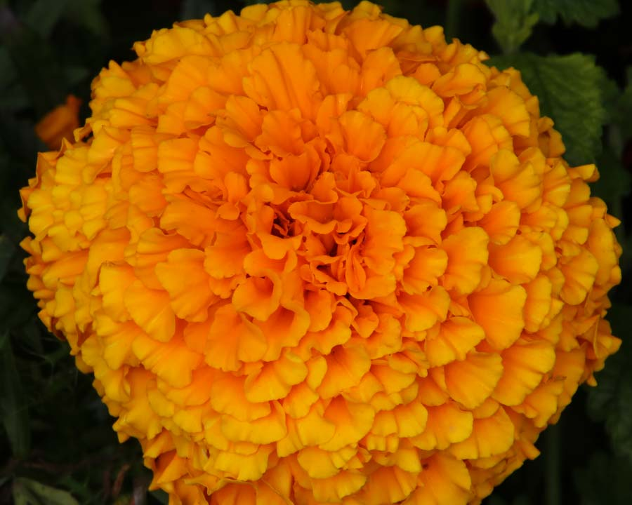 Tagetes erecta Taishan Orange